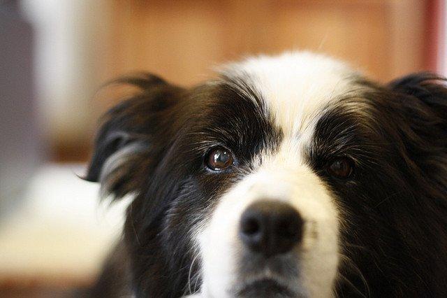 La Classifica dei Cani più Intelligenti